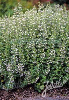 Calamintha nepeta 'Blue Cloud' is a long-blooming perennial with fragrant foliage