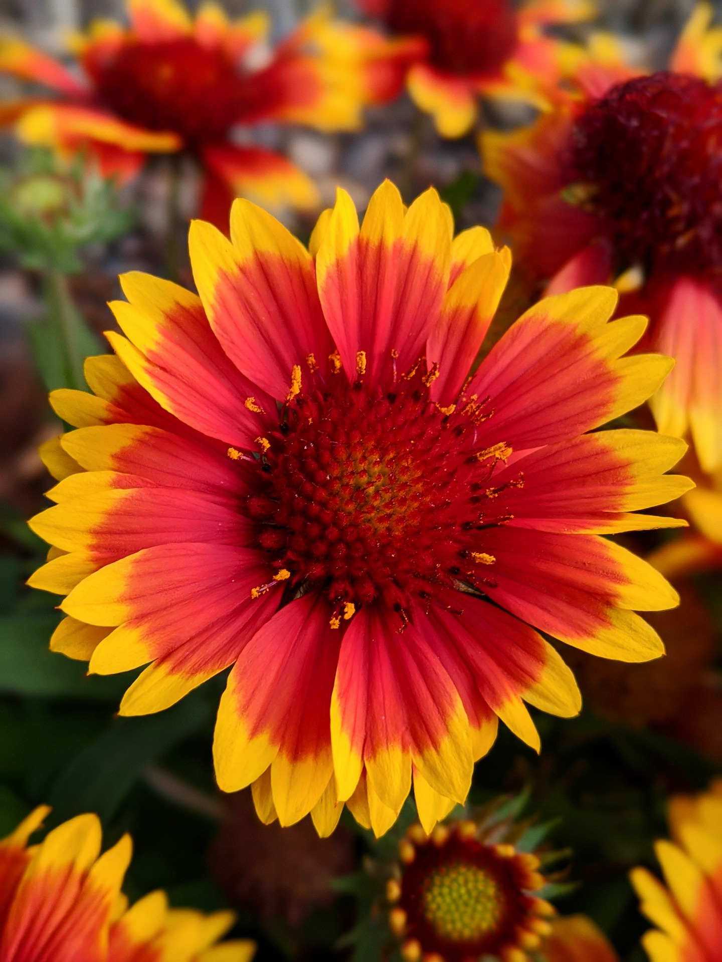 Red & Gold blanket flower, Gaillardia sp.