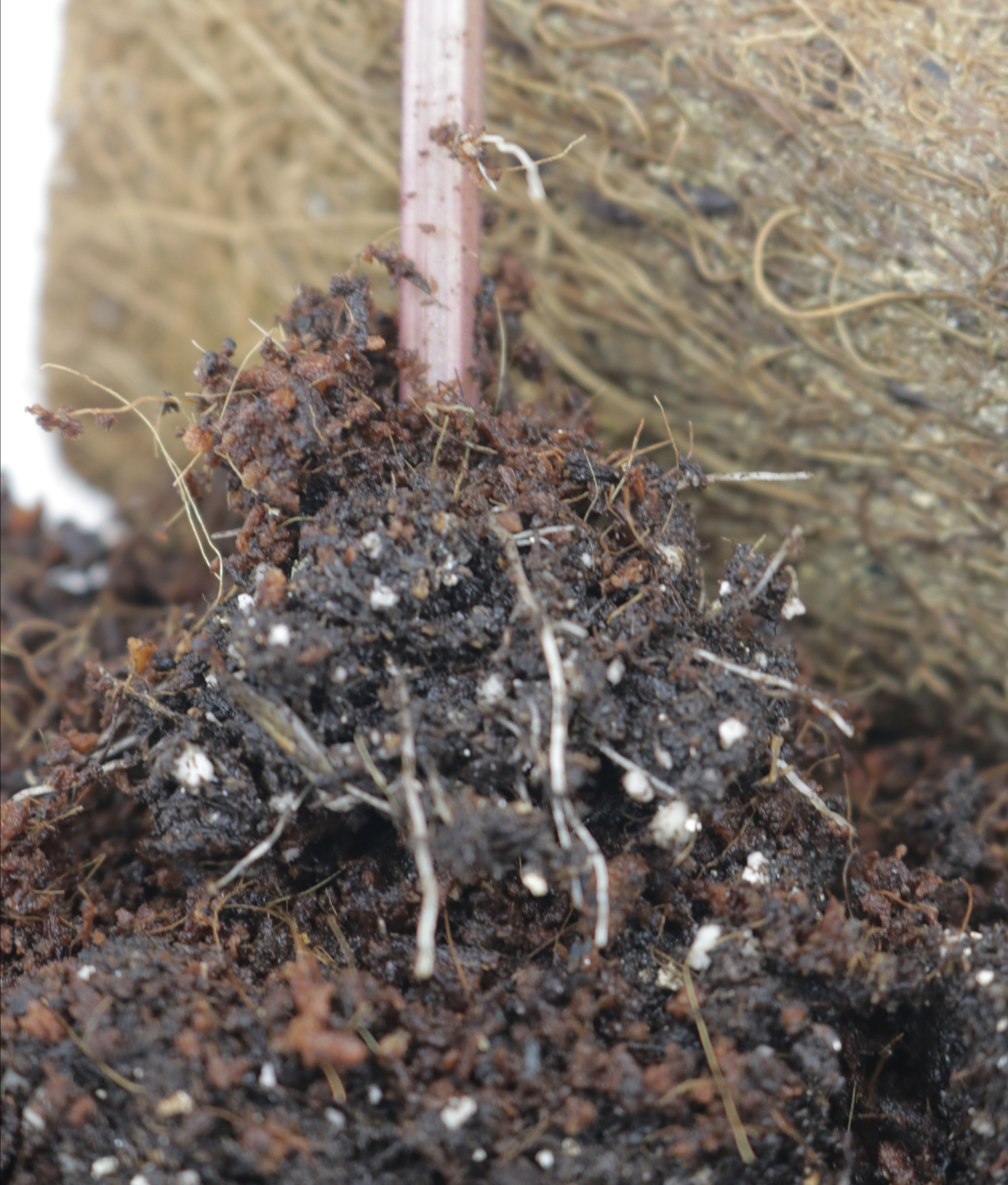 Coleus cutting with roots