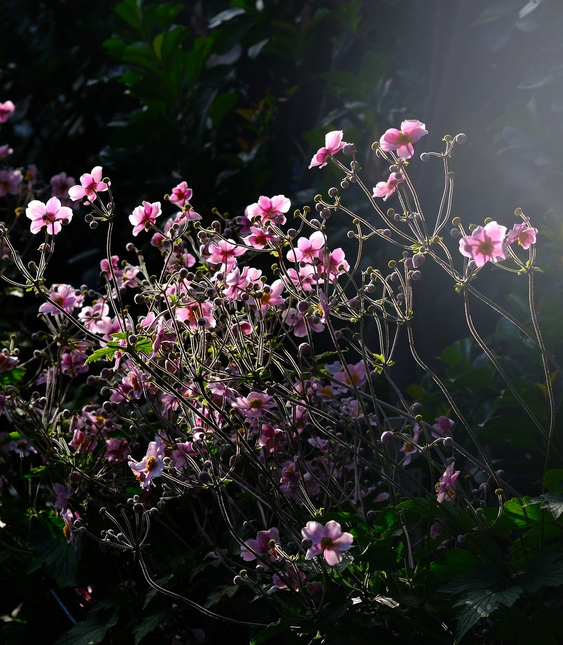 Japanese anemones shine in the fall garden