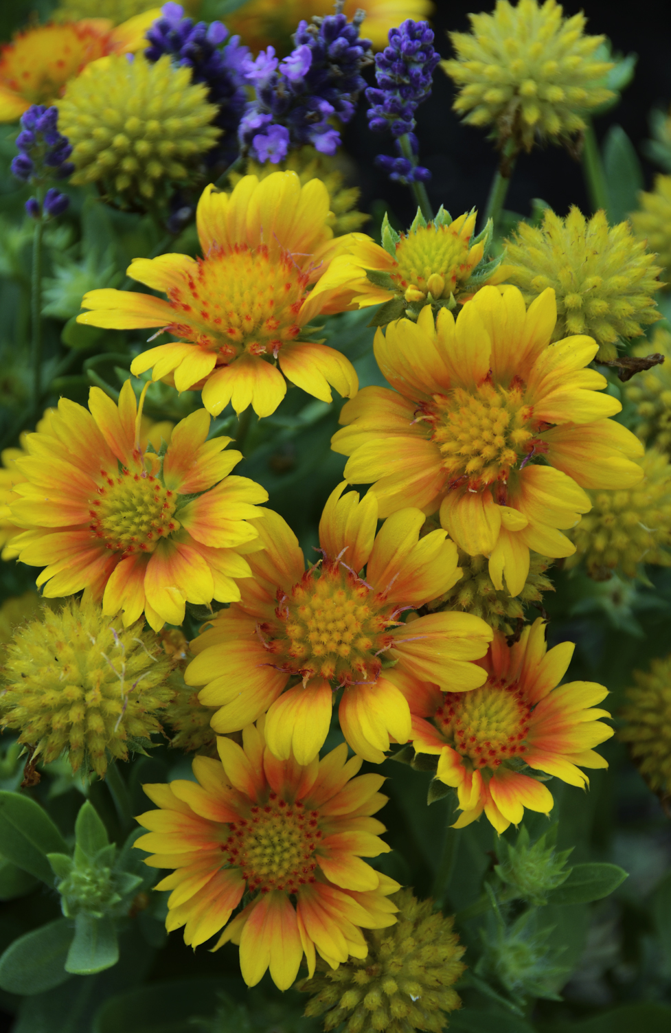 Gaillardia 'Arizona Apricot' has softer coloring than the species and blends easily with other plantings