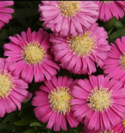 'Pink Mist' aster is a very compact perennial that blooms in the fall garden