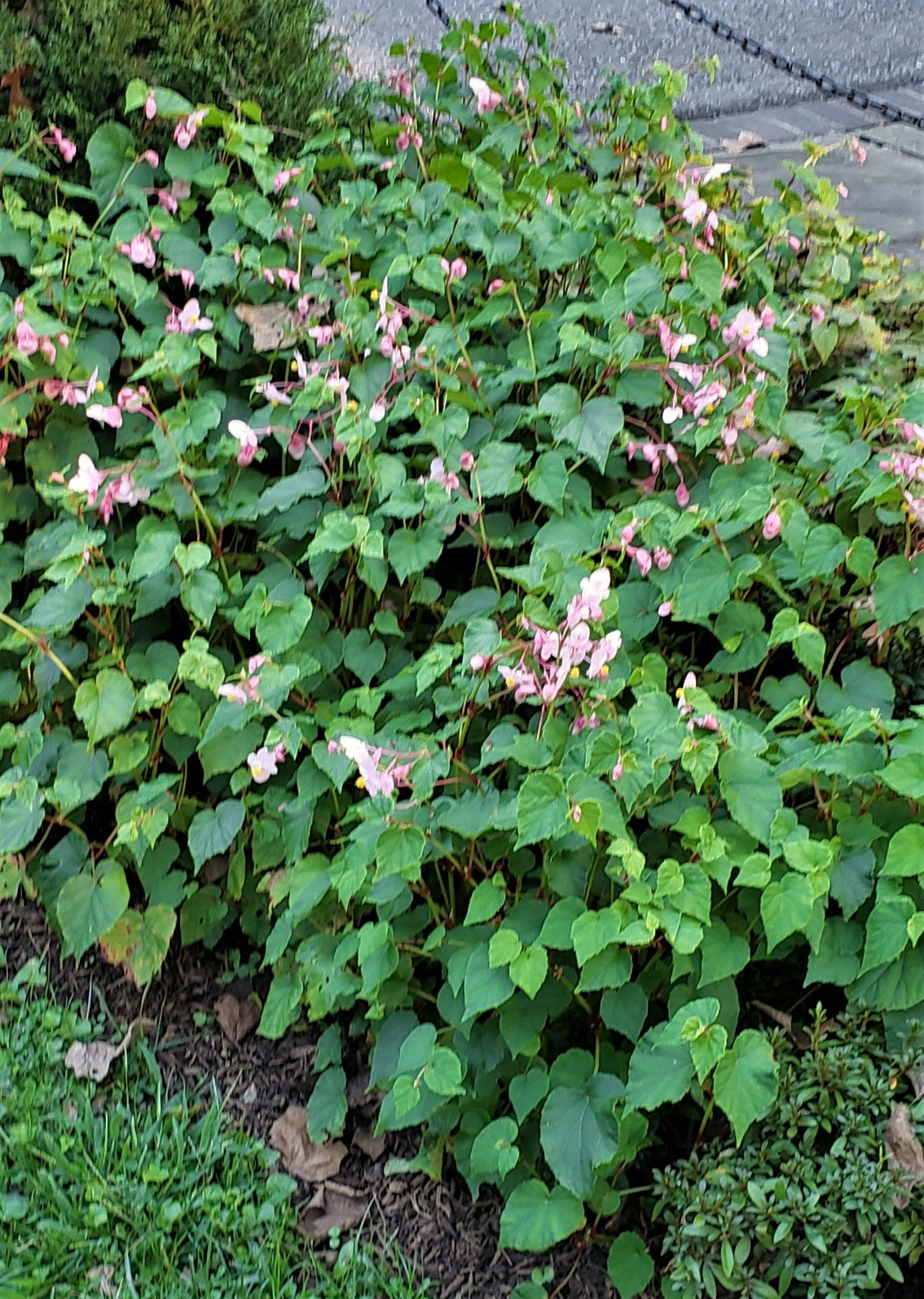 Hardy begonia, Begonia grandis, is a perennial that  brings fall color to beds and borders