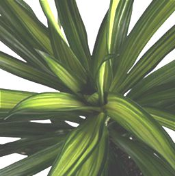 'Rikki' Dracaena, a sturdy houseplant