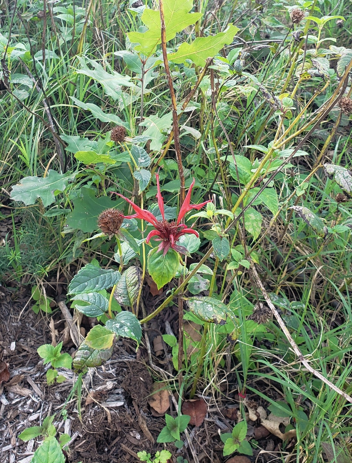 Monarda suffering but hanging on at the end of summer