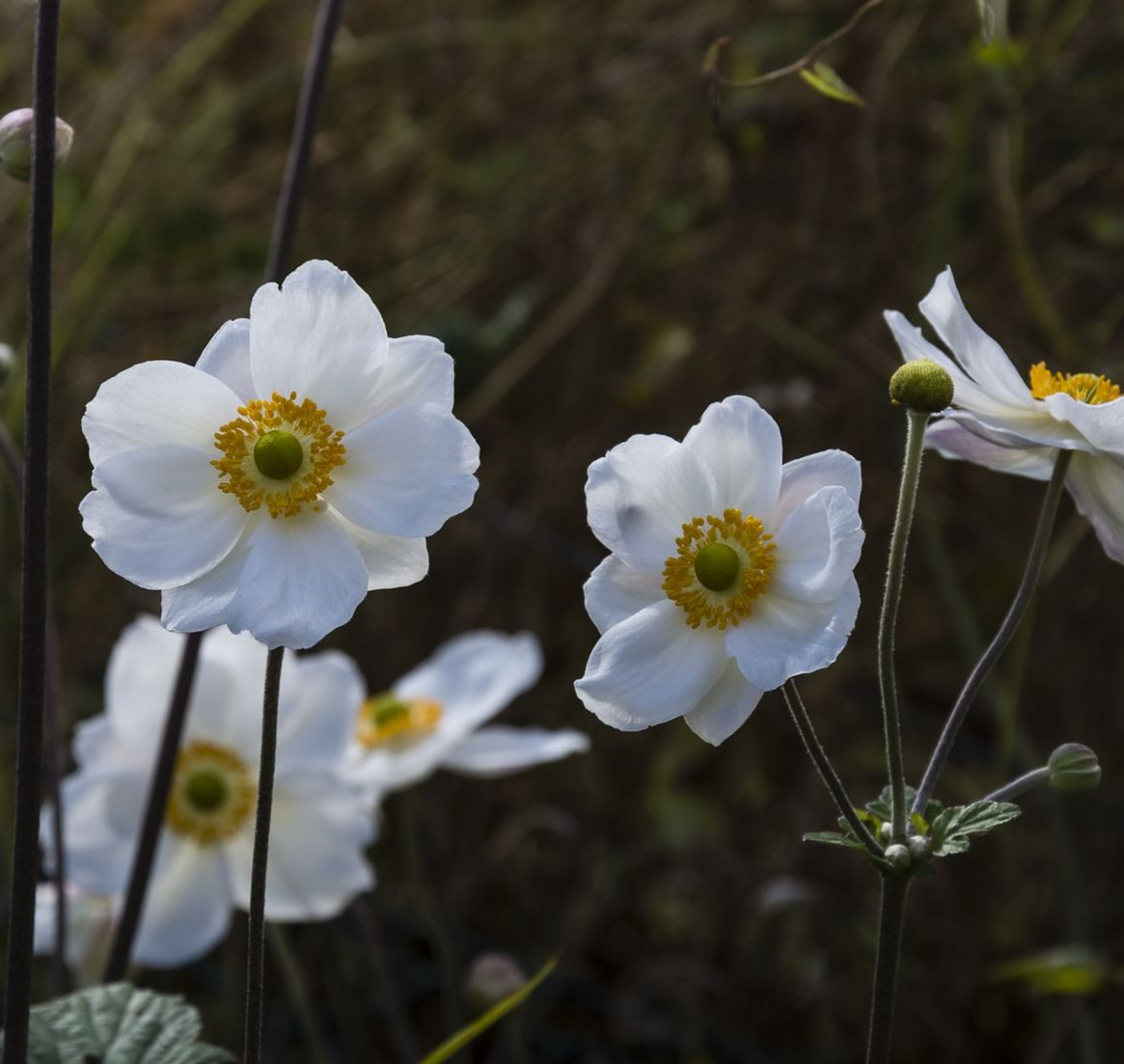 White Japanese Anemones bloom in the fall garden