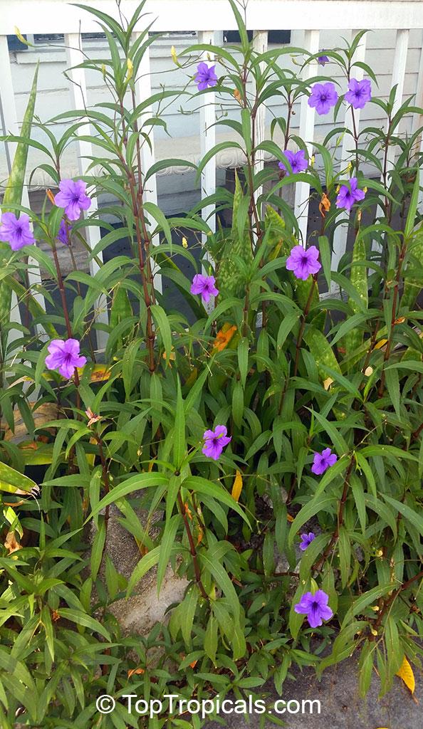 Ruellia brittoniana, Mexican petunia