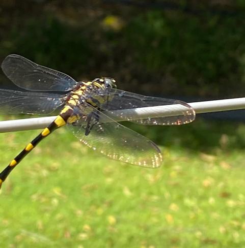 dragonfly sitting on a clothesline - animal symbology