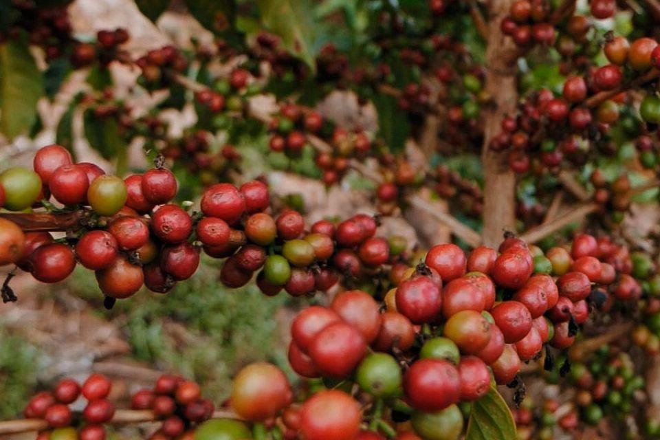 cerezas café Ruanda Muteteli Bourbon