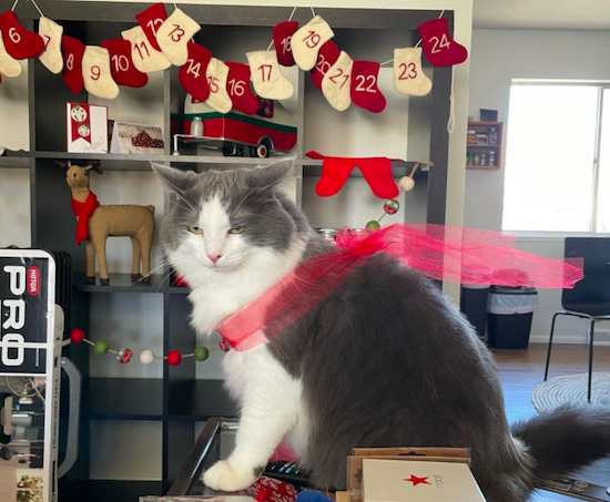 Megan's cat Avery with a red bow