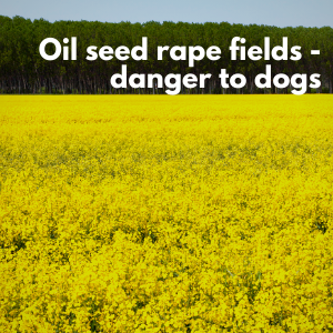 """A yellow field of rapeseed is in flower, with a text warning above it that says """"Oil seed rape fields - danger to dogs"""""""