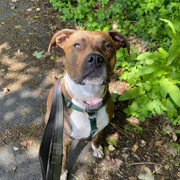 Susie, a beautiful brindle Boxer X gazes up at the camera. The sun shines through a canopy of leaves above, so her face is dappled with light. She looks directly into the camera, a stoic look on her face.