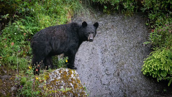 Black bear in Alaska