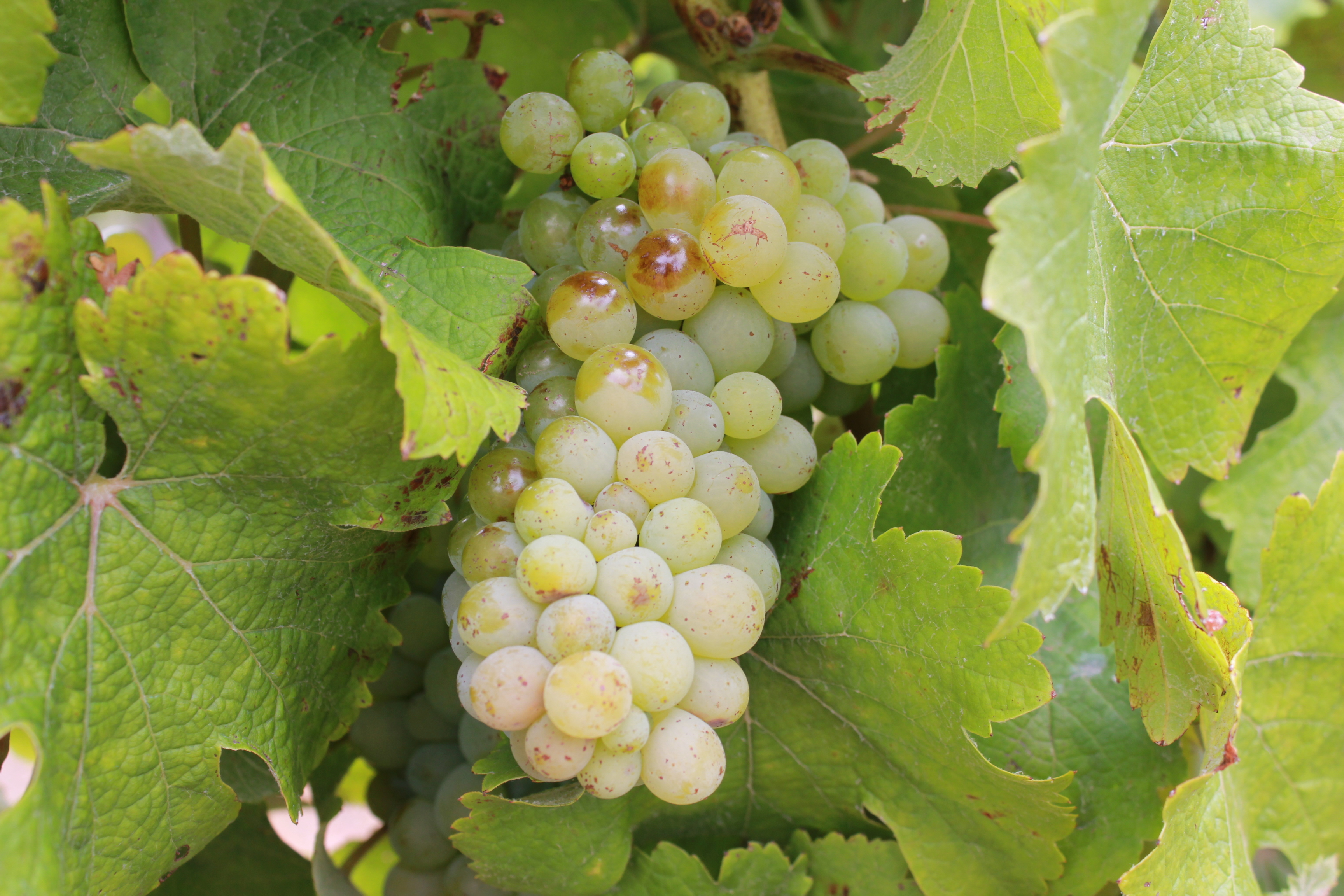 South African Chenin Blanc has emerged from its bulk wine past to become one of the world's most exciting wine styles. - Wines of South Africa