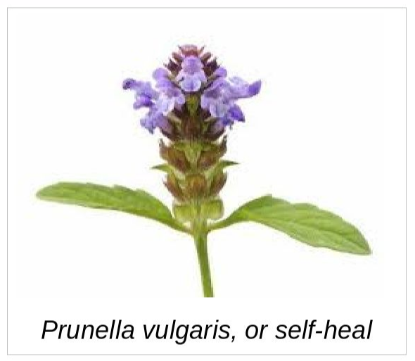 Photo of the flower of heal-all, or prunella vulgaris