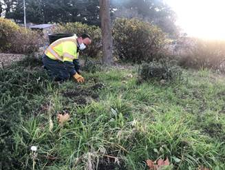 Hand pulling weeds and shrub pruning (1)