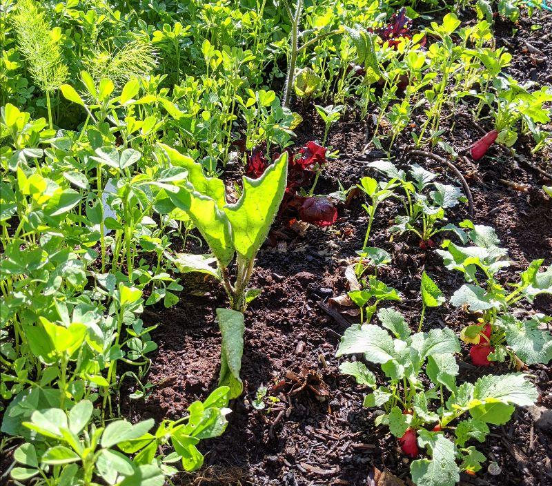 eggplant and radishes