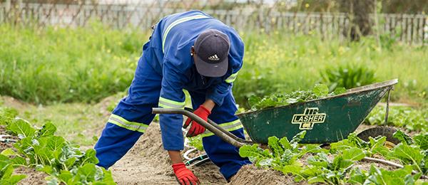 Homme penché, désherbant un champ de laitue, portant une combinaison bleue.