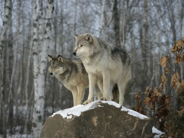 Image of two wolves on a snowy rock