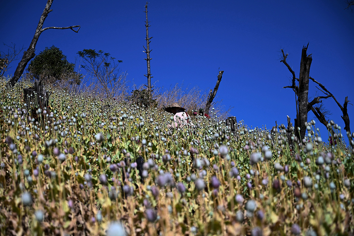 A farmer in a field of poppies