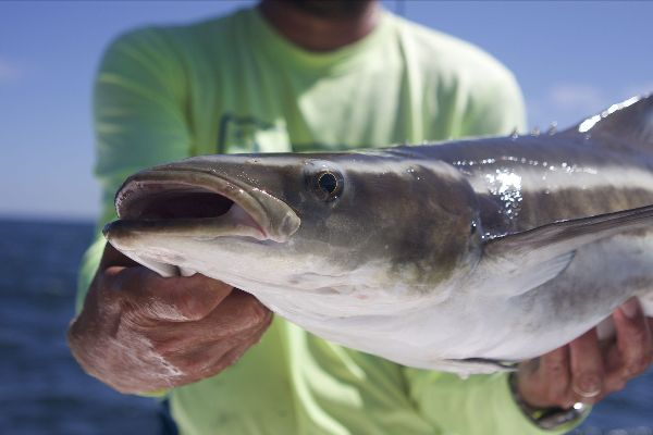 Cobia Season has Started in the Gulf