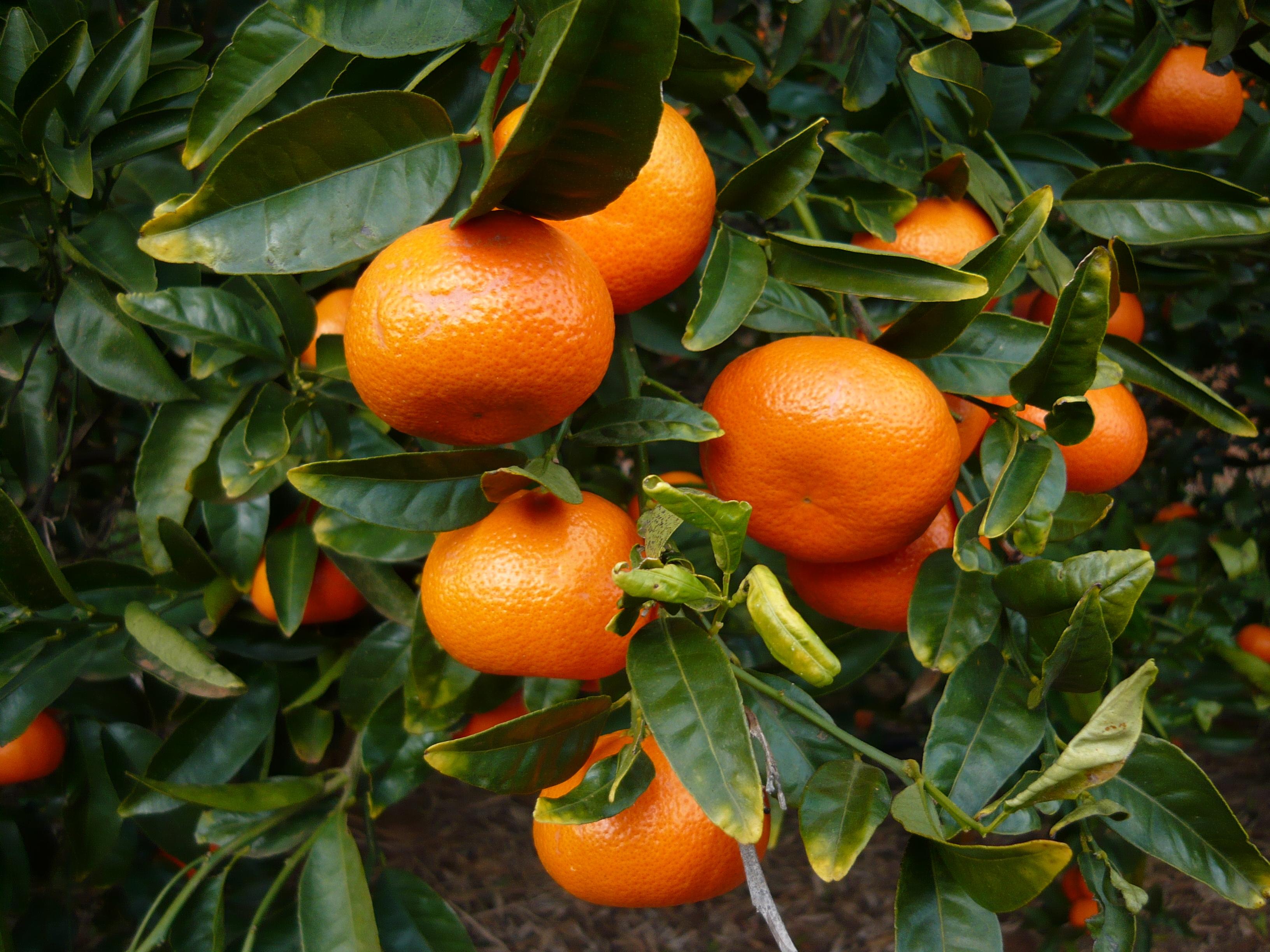 A smooth navel orange