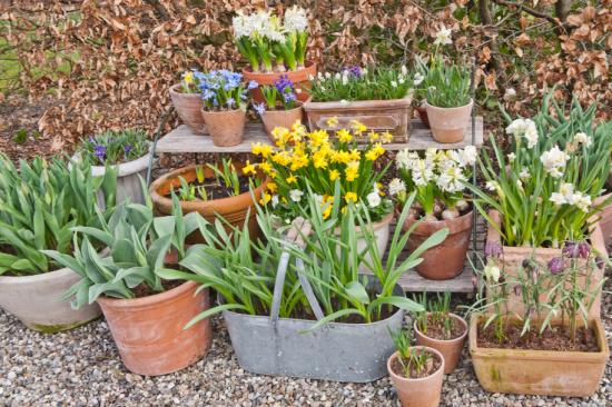 Forårets blomster til krukkerne