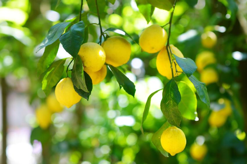 Gode råd om citrustræer