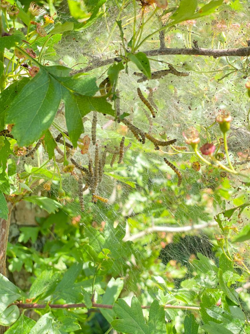 Labre larver