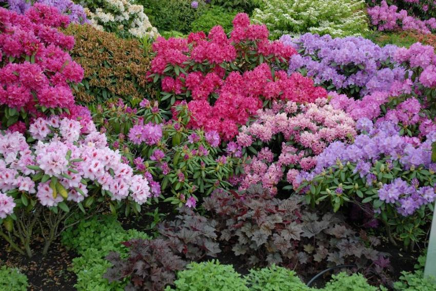 Få succes i Rhododendronbedet