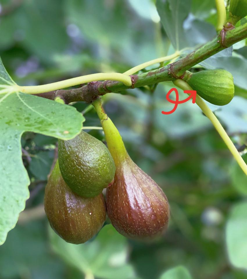 Ikke alle steder modner figenfrugterne