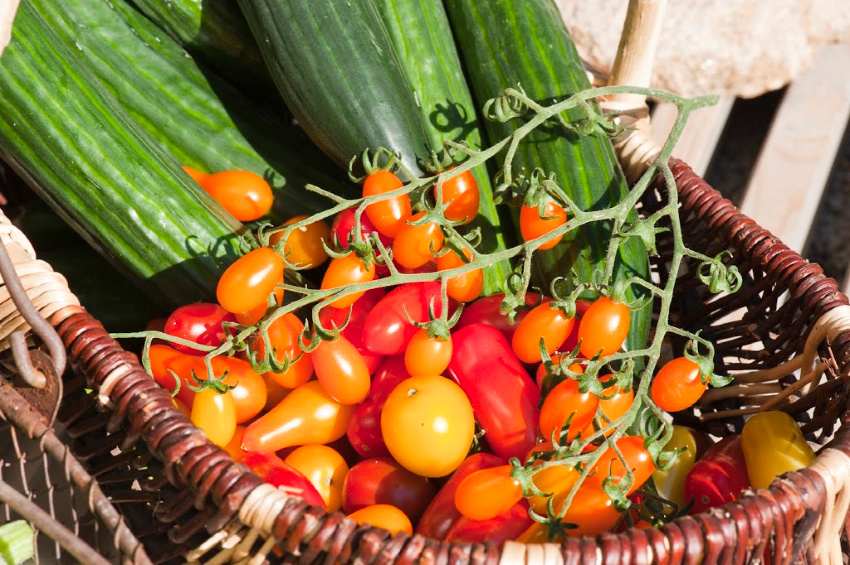 Plant tomater i drivhuset