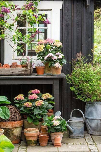 Hydrangeas in Terracotta Pots, Content in a Cottage Blog, Pinterest Board Gardens
