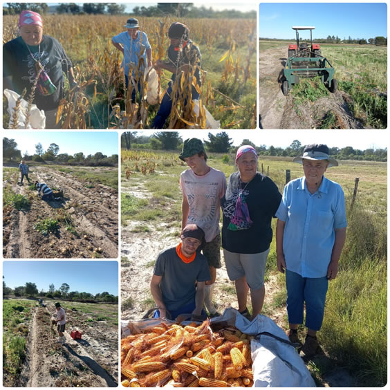 Harvesting Potatoes and Maize