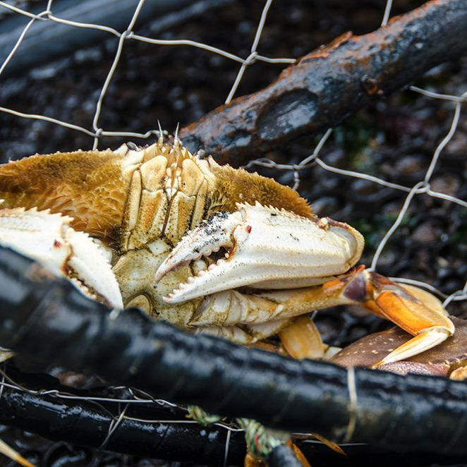 Dungeness Crab - Photo: Pat Kight, Oregon Sea Grant