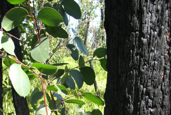 Photo of a burnt blackened tree on right with new green growth to the left