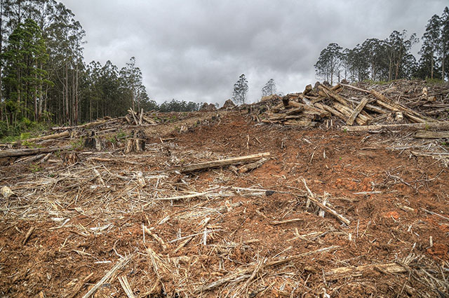 Clear-cutting in Toolangi forest in southern Australia