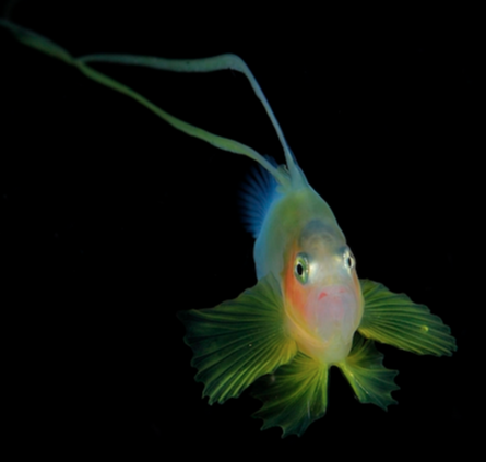 tiny fish-looking translucent creature with red and blue and green against a black night sea