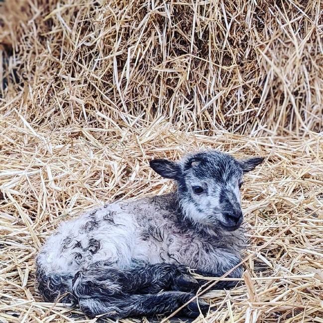 Hamish the lamb