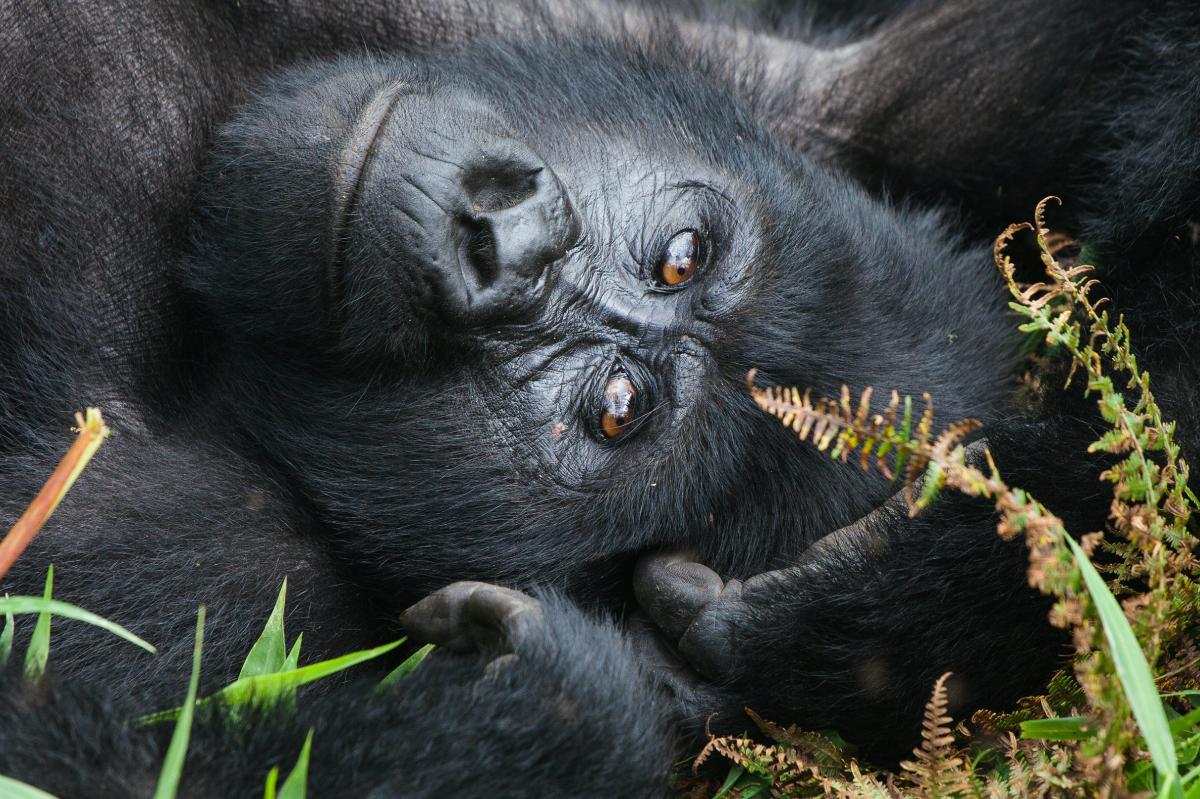 Mountain Gorilla Image