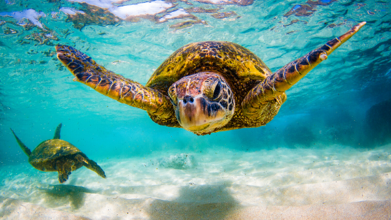 Image of Sea Turtles for newsletter banner