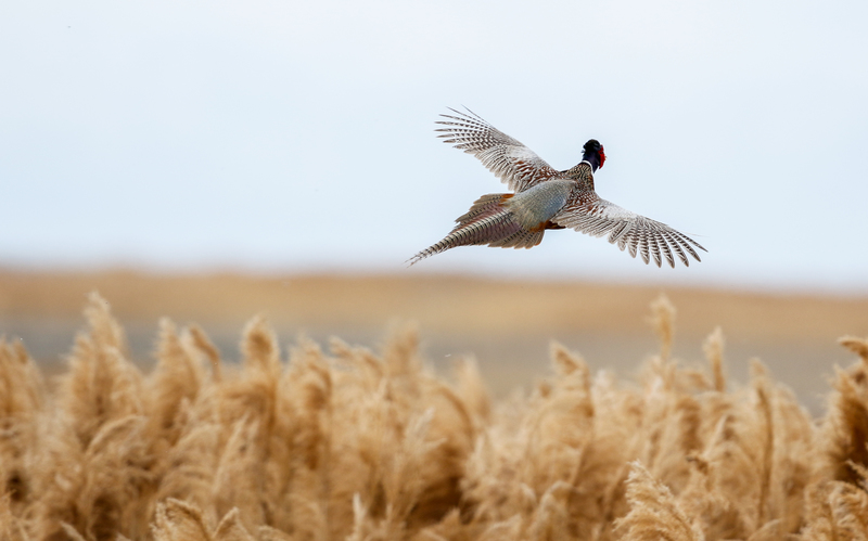 Pheasant takes flight over tall grasses at the Bear River Migratory Bird Refuge