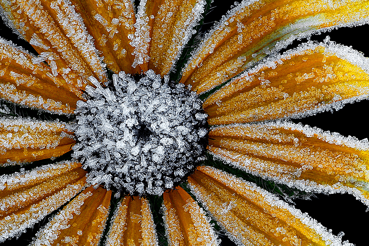 Flower covered in frost