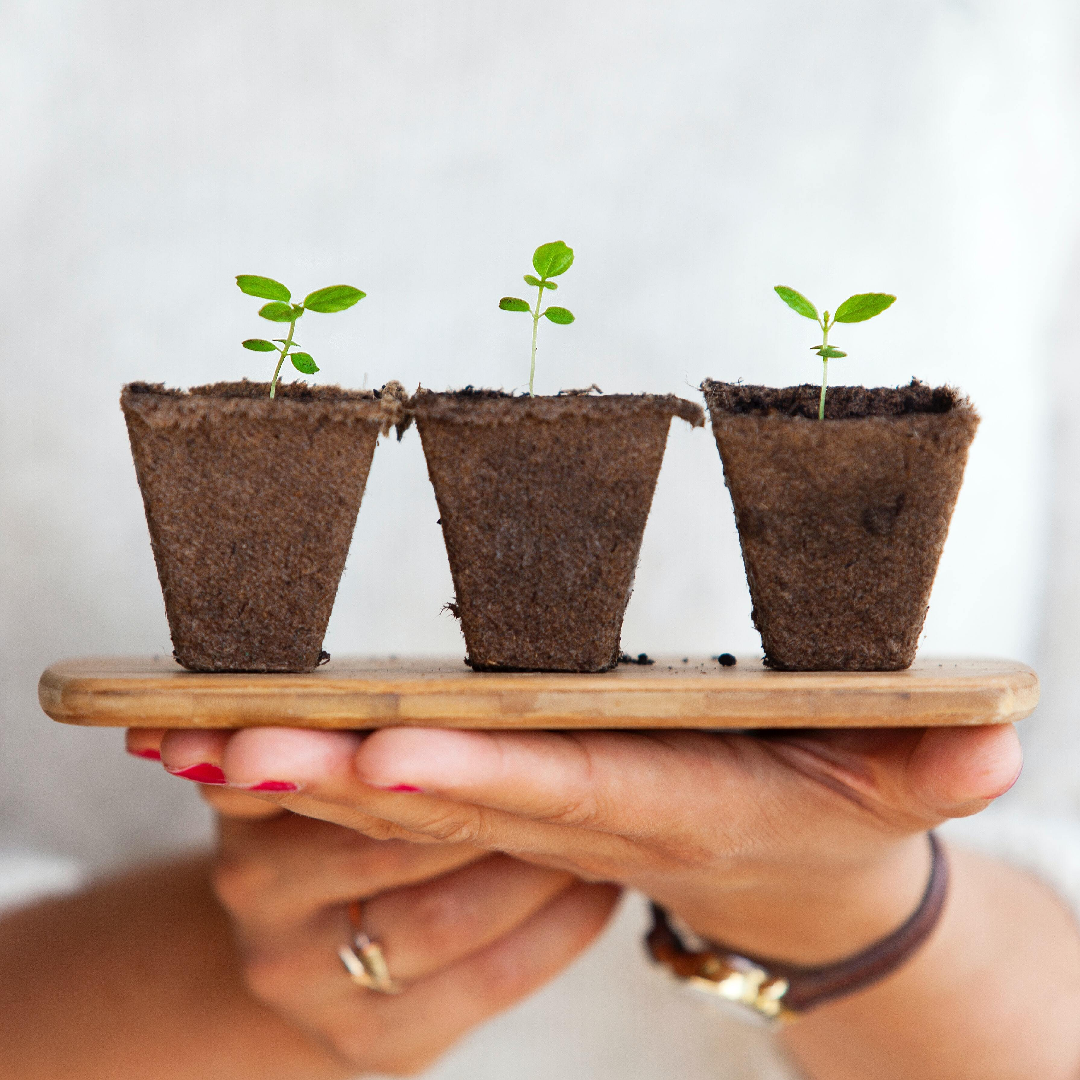 hands hold up a wooden board with three soil cups with green shoots growing out of them