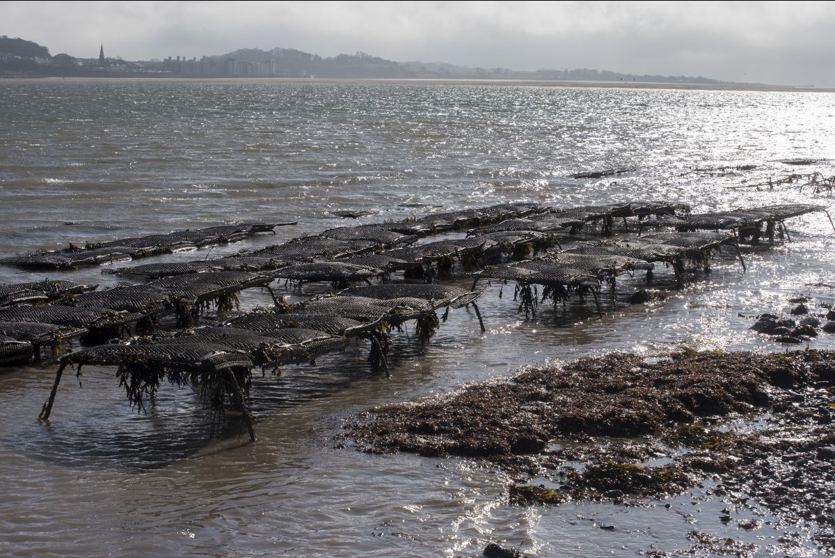 Oyster trestles