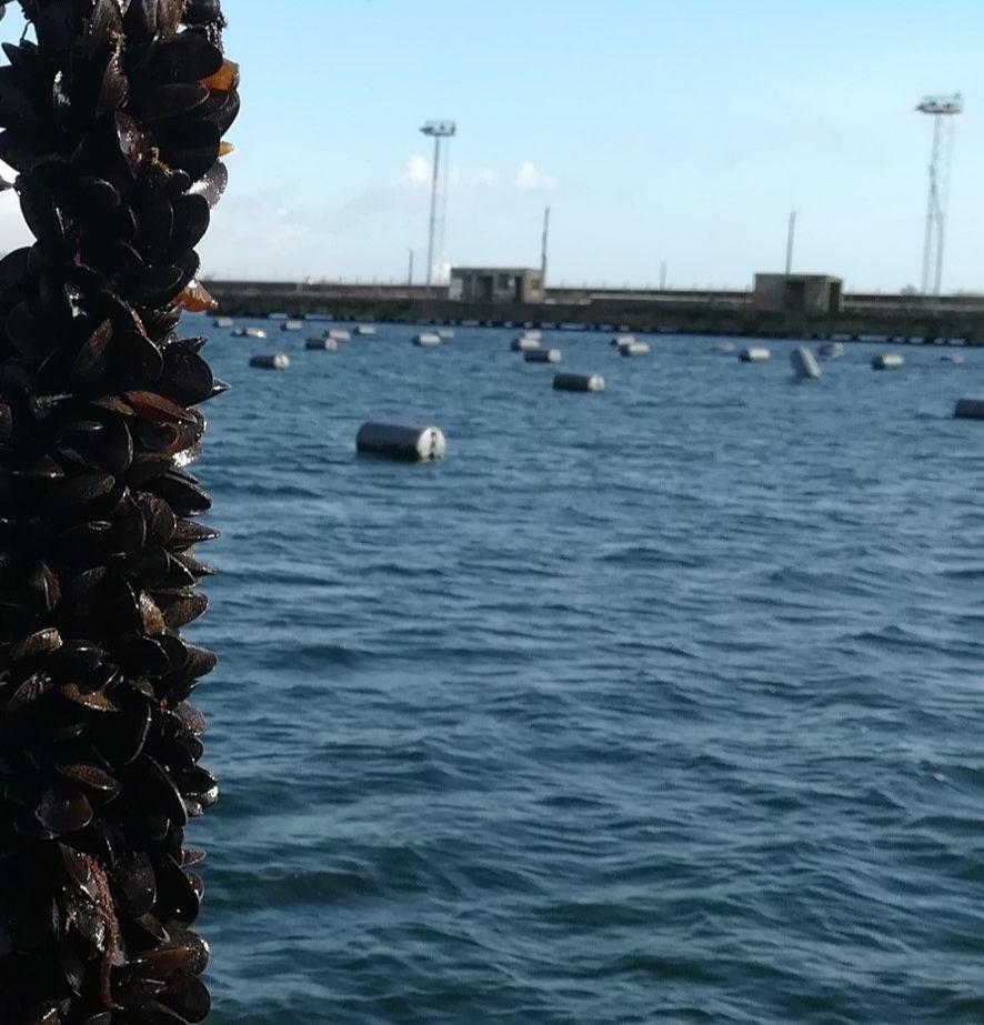 Mussels in Swansea dock