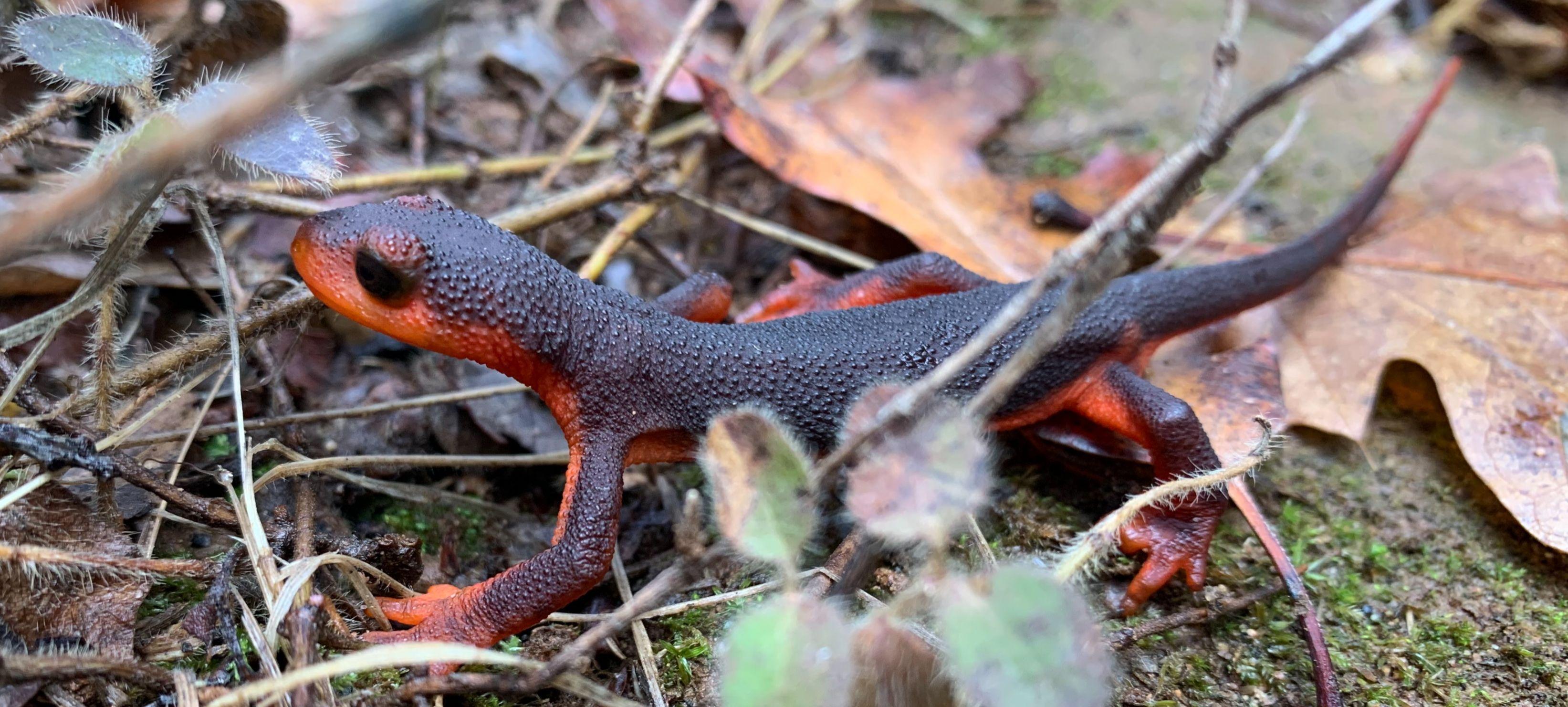Red-bellied newt, Taricha rivularis