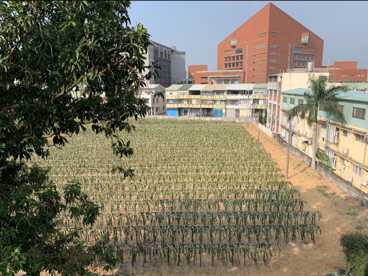 Dragon fruit field next to school
