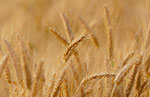 Argentina first to approve GMO wheat variety