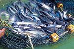 New challenge to prevent catfish off-flavor